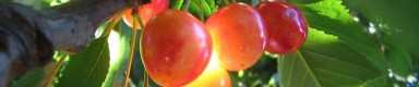 cropped-cherries-on-tree.jpg